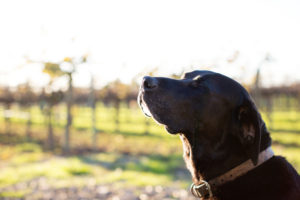 Black Lab sniffing the air in the vineyard